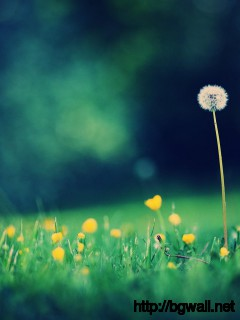 Dandelion-Flower-Wallpaper-Full-HD