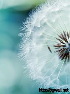 Flowers-Dandelion-Wallpaper-Background