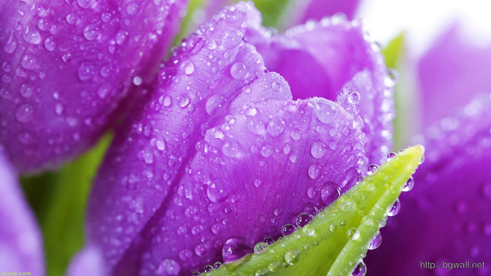 Fresh-Purple-Spring-Flower-Wallpaper