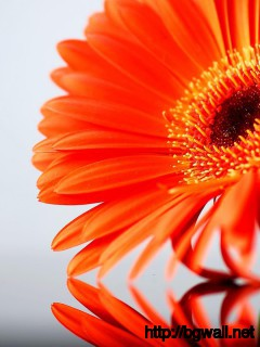 Gerbera-Flower-Reflection-Wallpaper
