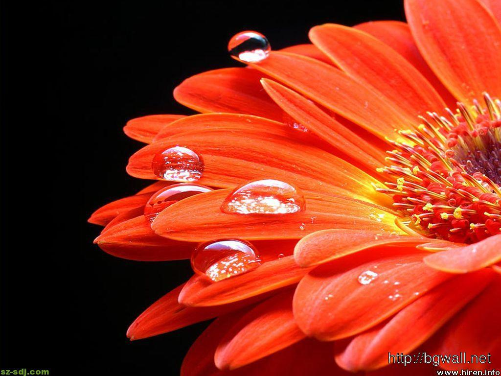 Gerbera Flower Wallpaper For Android