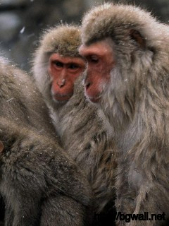 a-monkey-family-when-winter-time-wallpaper-high-resolution
