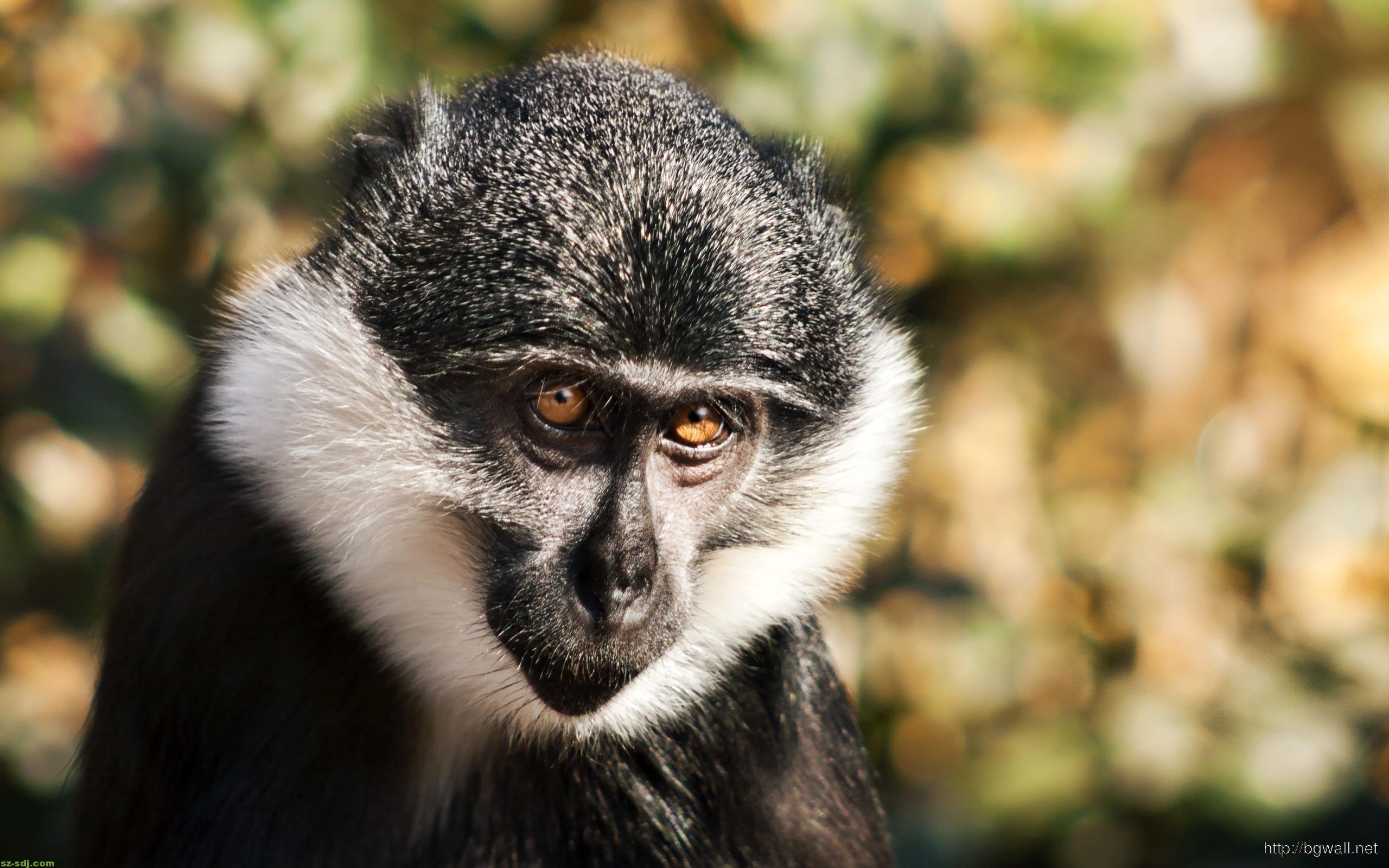 a-monkey-look-sad-wallpaper-computer