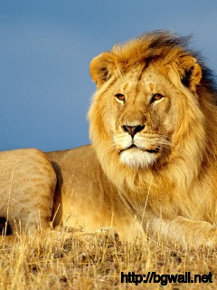 african-lion-wallpaper-high-resolution