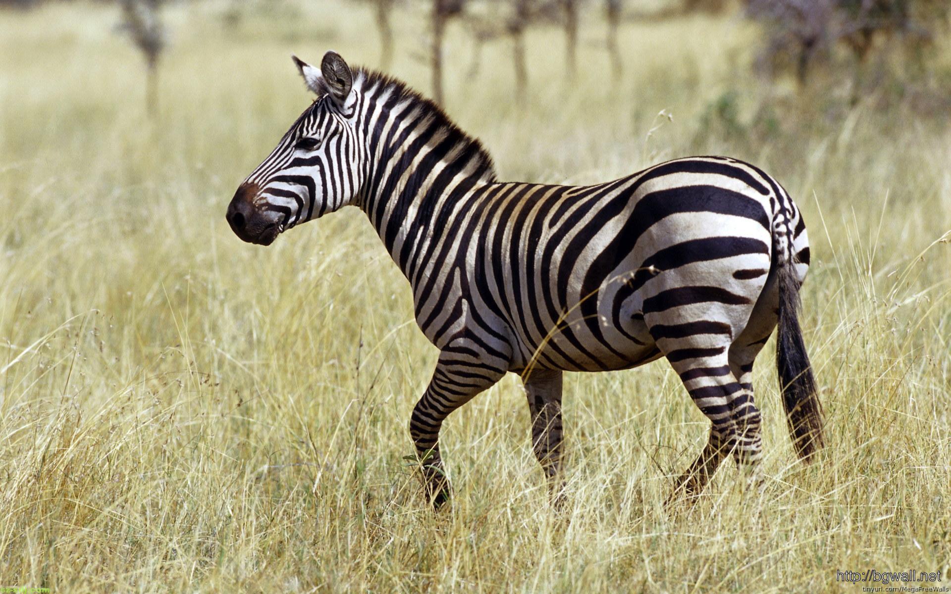 alone-zebra-wallpaper-photos
