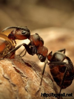 amazing-ant-macro-wallpaper-for-desktop