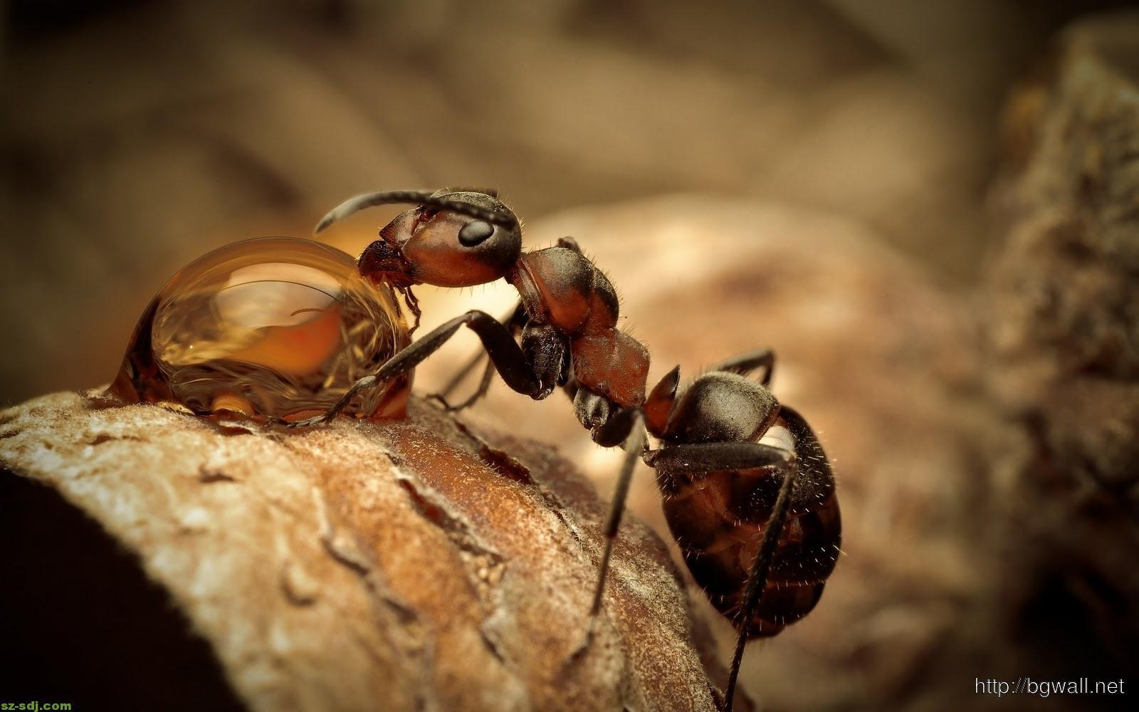 amazing-ant-macro-wallpaper-for-desktop