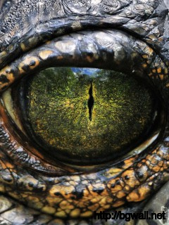 amazing-eye-crocodile-wallpaper