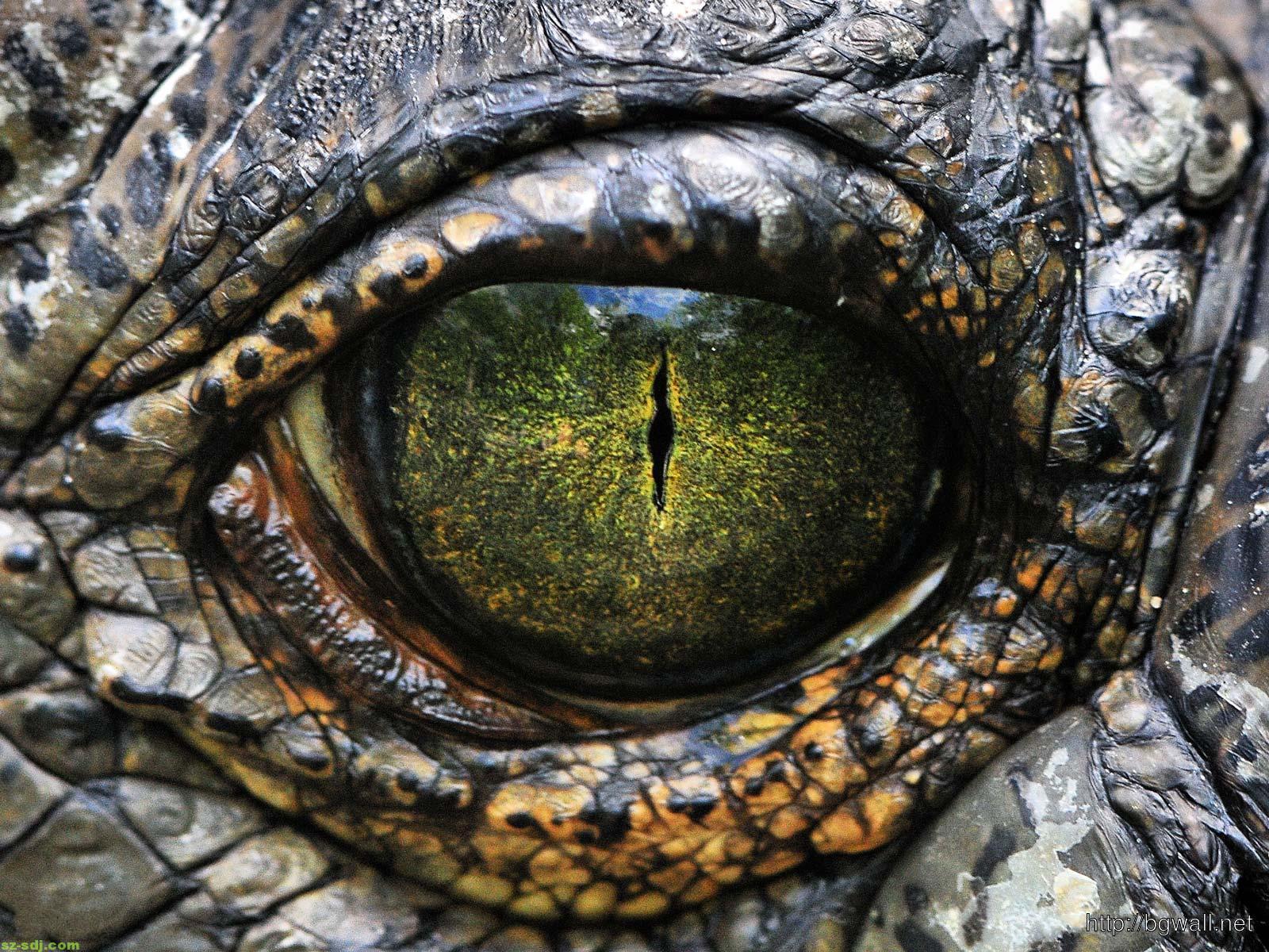 amazing-eye-crocodile-wallpaper