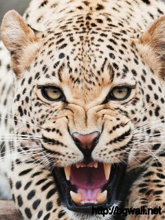 amazing-face-cheetah-wallaper-high-definition