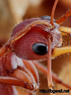 amazing-fire-ant-macro-wallpaper