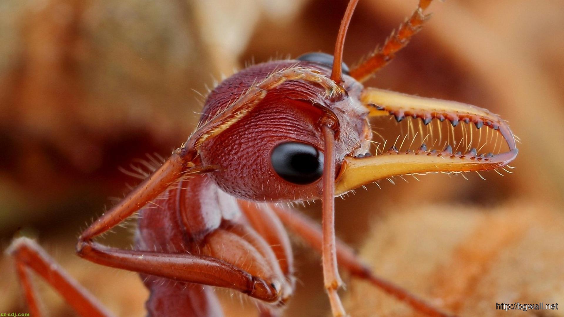 amazing-fire-ant-macro-wallpaper