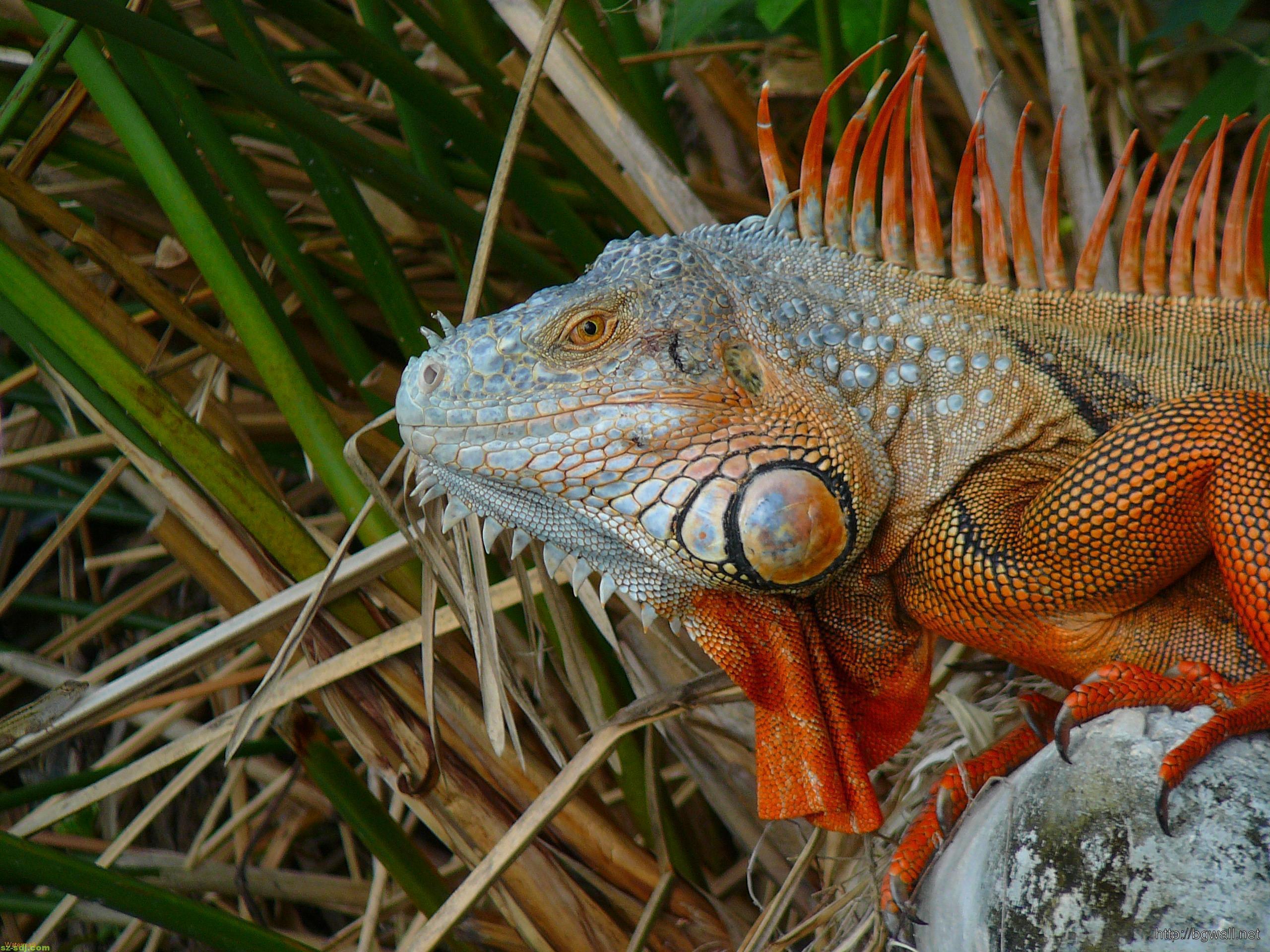 an-iguana-crept-behind-a-bush-wallpaper-image-hd