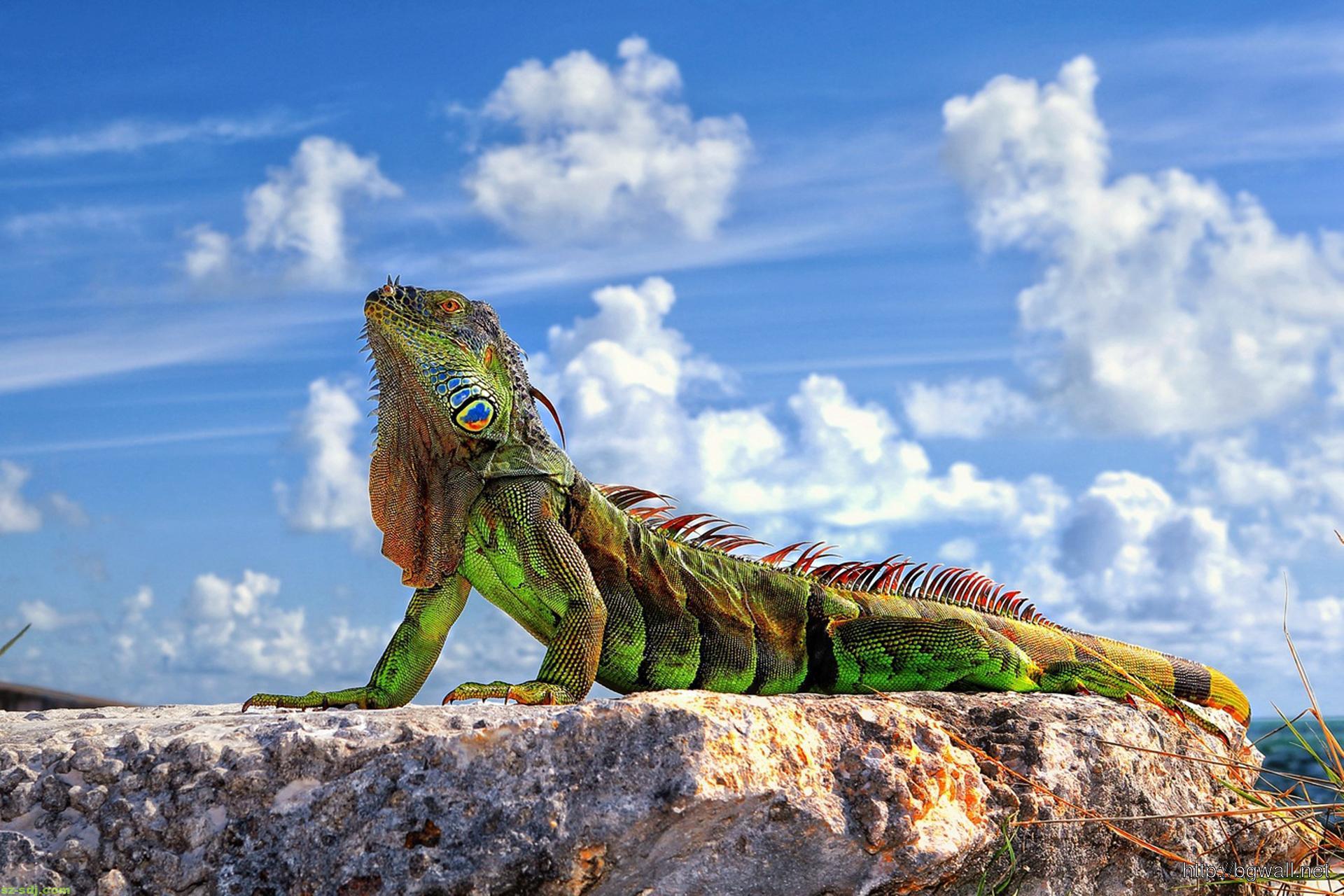 an-iguana-standing-on-the-rock-wallpaper-landscape