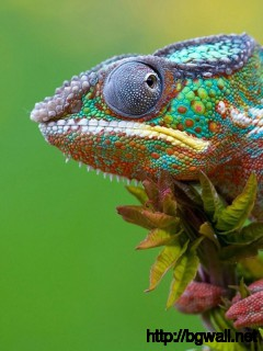 awesome-chameleon-desktop-wallpaper