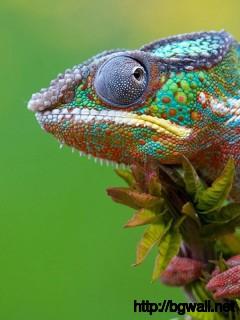 awesome-chameleon-desktop-wallpaper