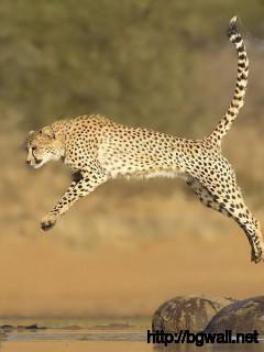 awesome-cheetah-jumping-wallpaper-pc