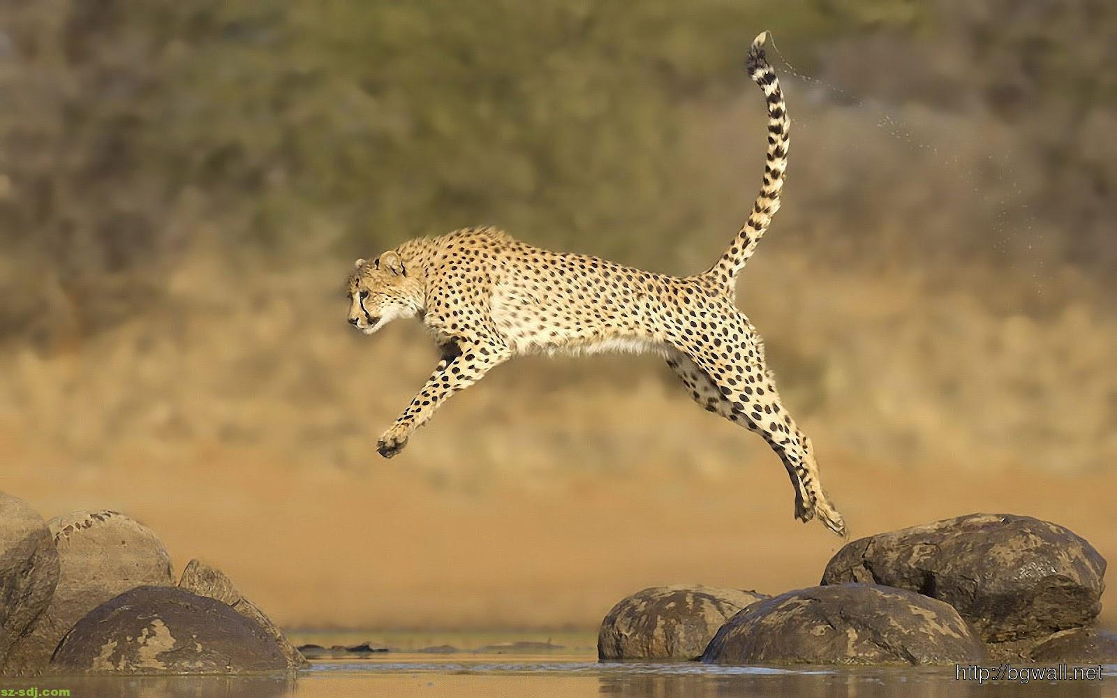 Awesome Cheetah Jumping Wallpaper Pc