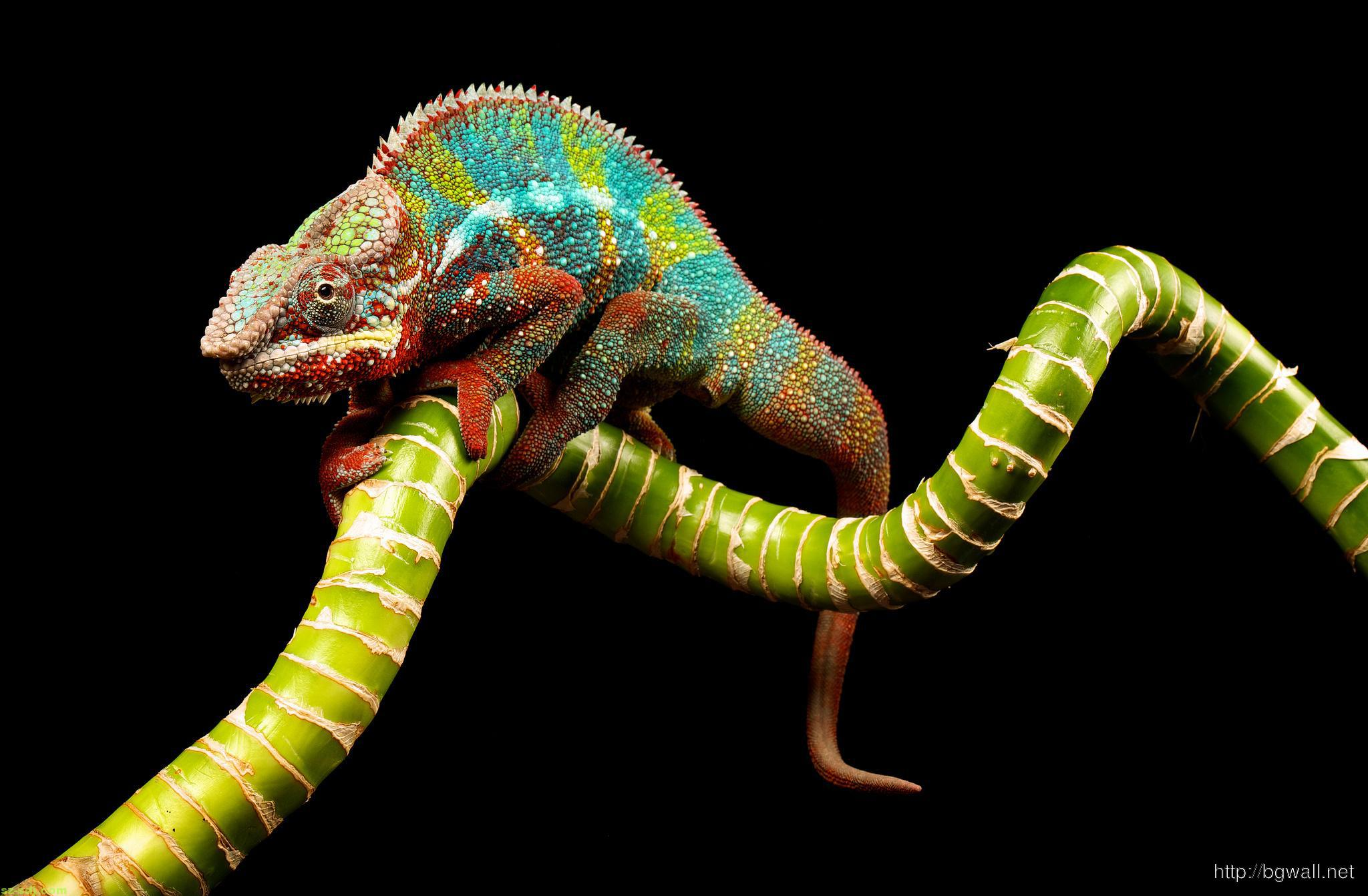 awesome-colorful-chameleon-wallpaper-hd