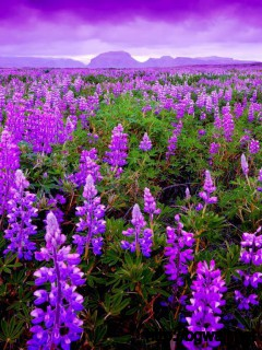 awesome-lavender-field-wallpaper-download