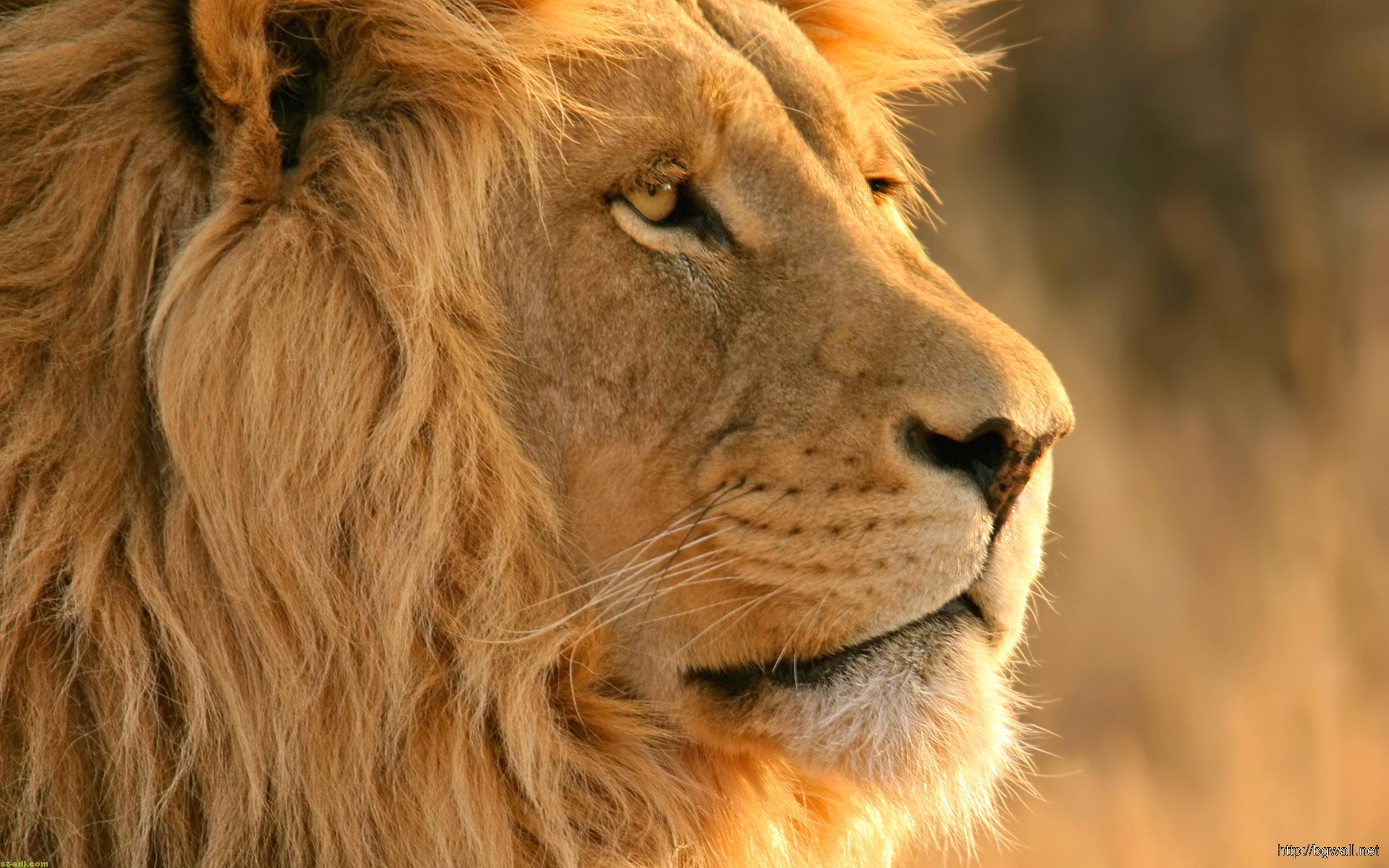 awesome-lion-wallpaper-widescreen-