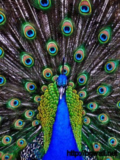 awesome-peacock-wallpaper-high-resolution