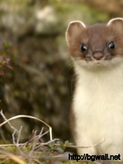 awesome-stoat-macro-animal-wallpaper