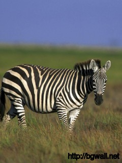awesome-zebra-animal-wallpaper-hd