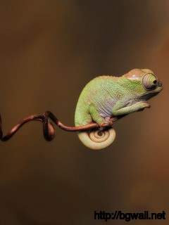 baby-chameleon-wallpaper-widescreen