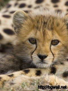 baby-cheetah-animal-wallpaper