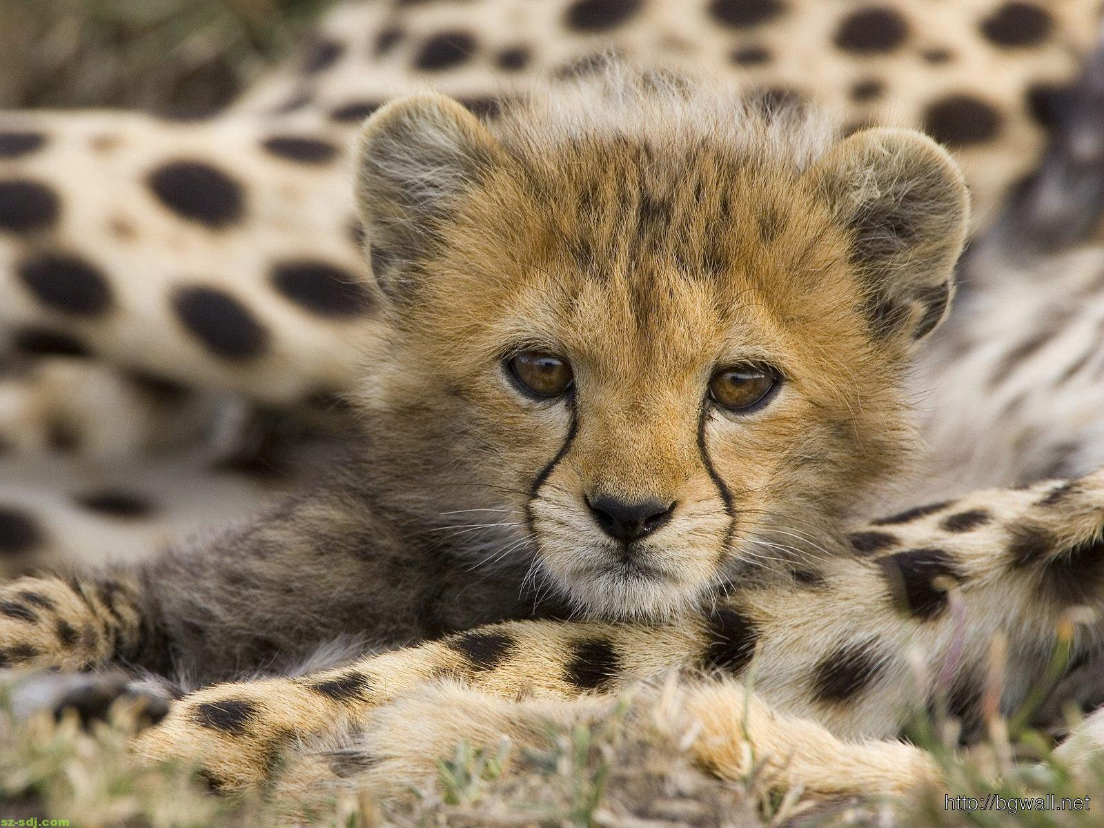 baby-cheetah-animal-wallpaper