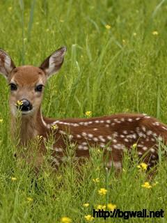 baby-deer-wallpaper-desktop