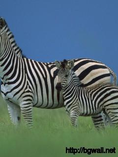 baby-zebra-desktop-wallpaper