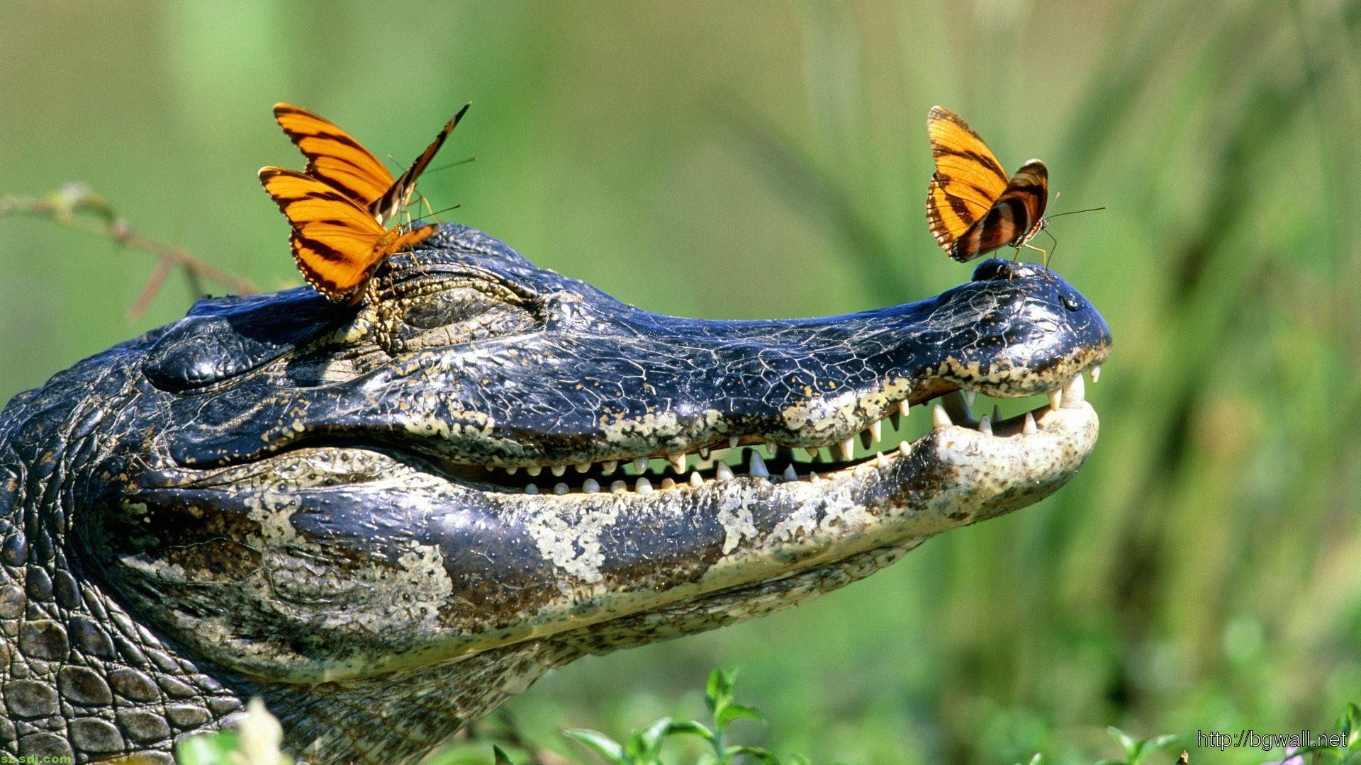 beautiful-butterfly-and-crocodile-wallpaper