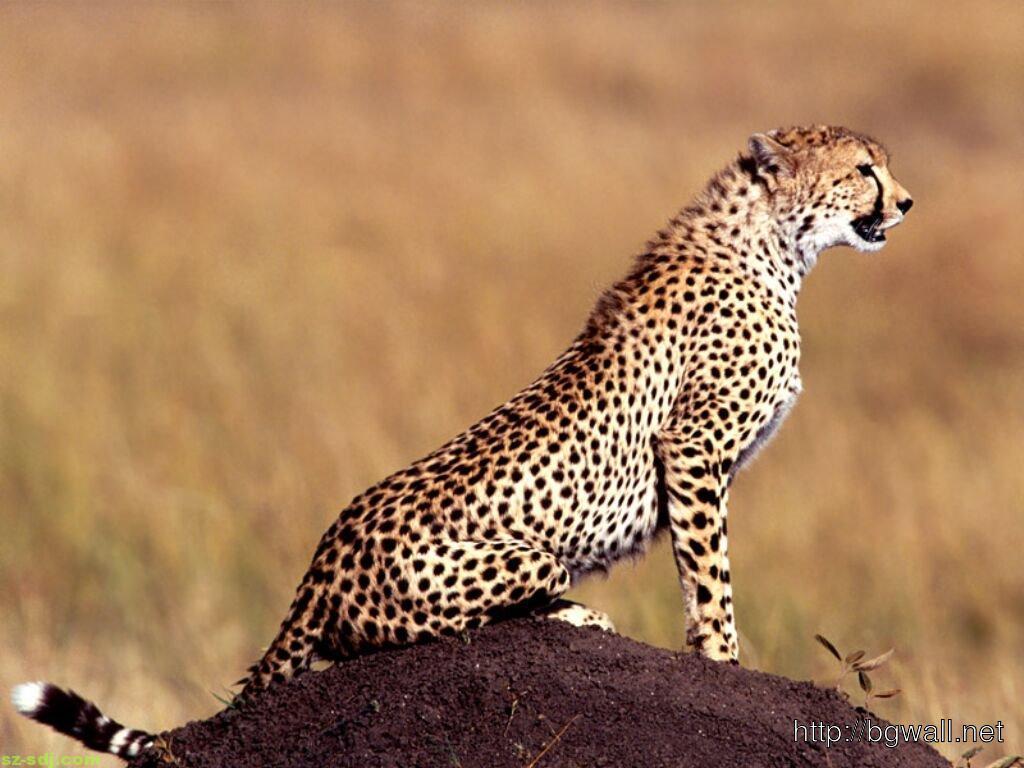 beautiful-cheetah-wallpaper-for-desktop