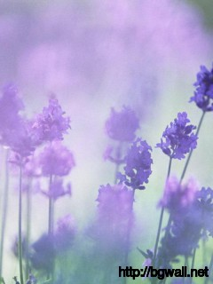 beautiful-purple-lavender-desktop-wallpaper