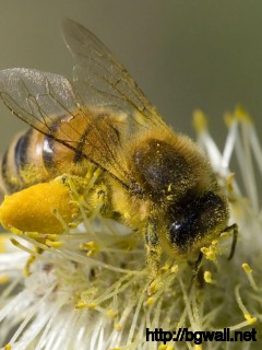 bee-honey-macro-wallpaper-high-definition