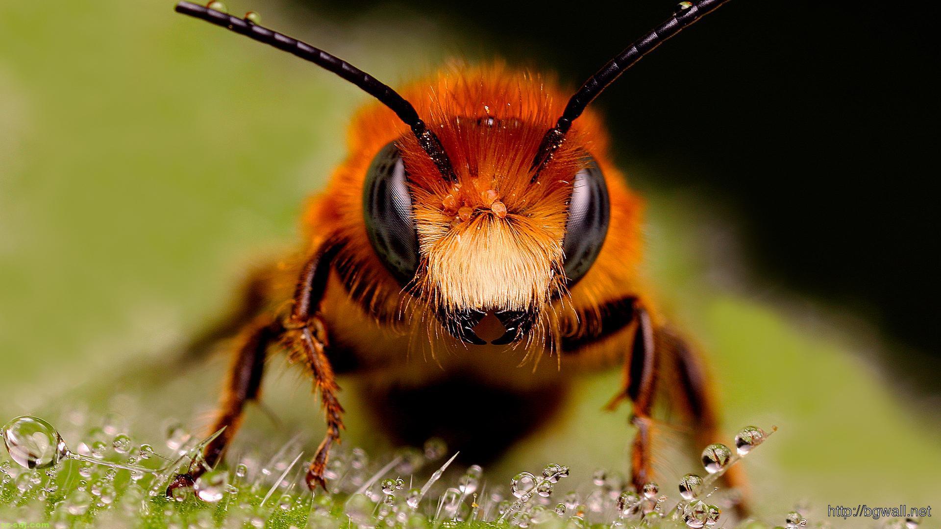 best-bee-macro-wallpaper-background