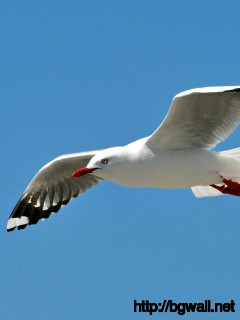 best-seagull-on-blu-sky-wallpaper