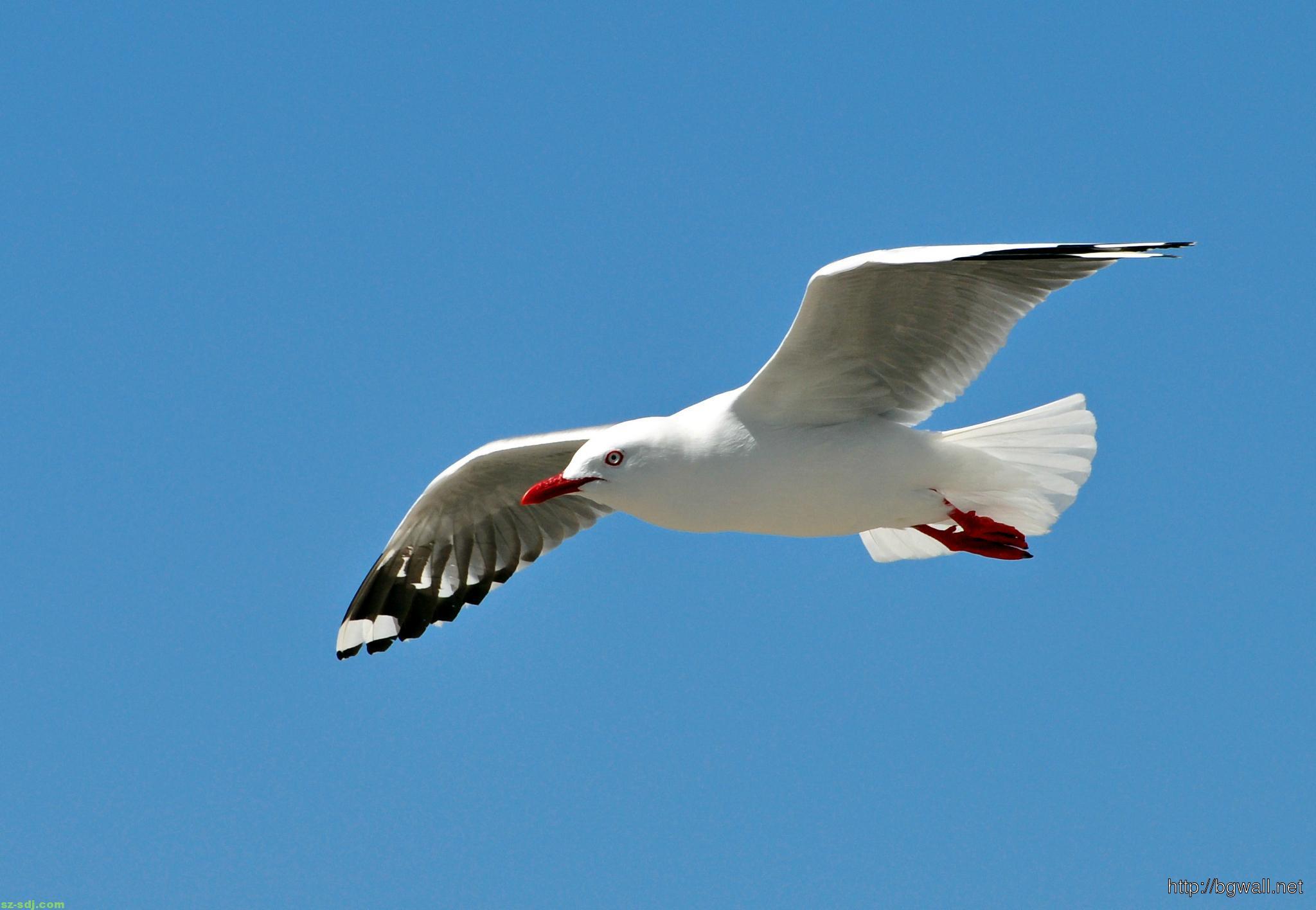 best-seagull-on-blu-sky-wallpaper