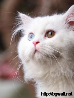 best-white-cat-wallpaper-image