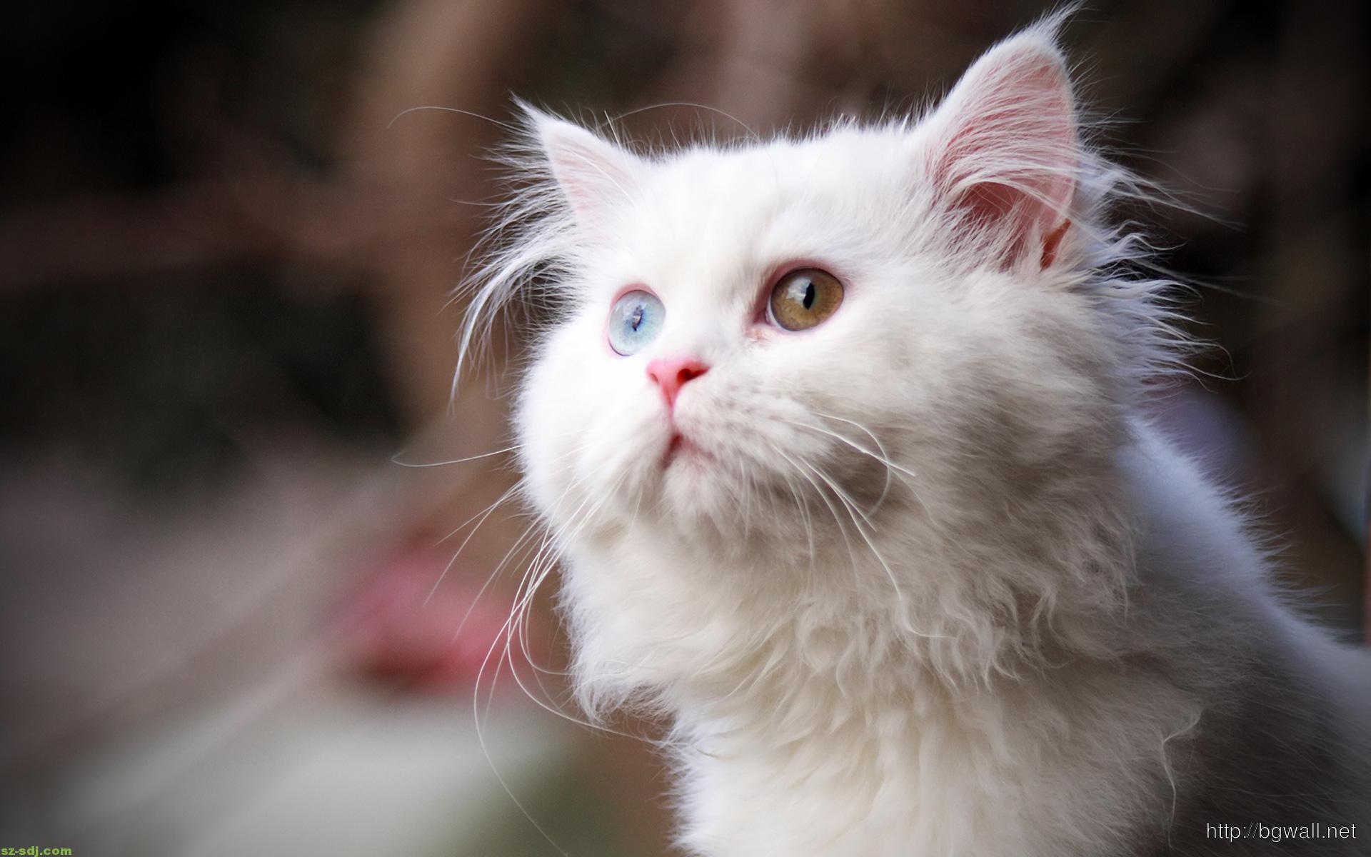 best-white-cat-wallpaper-image