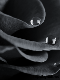 black-and-white-rose-water-drops-wallpaper-hd