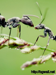 black-ant-macro-wallpaper-widescreen