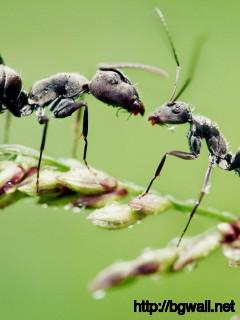 black-ant-macro-wallpaper-widescreen
