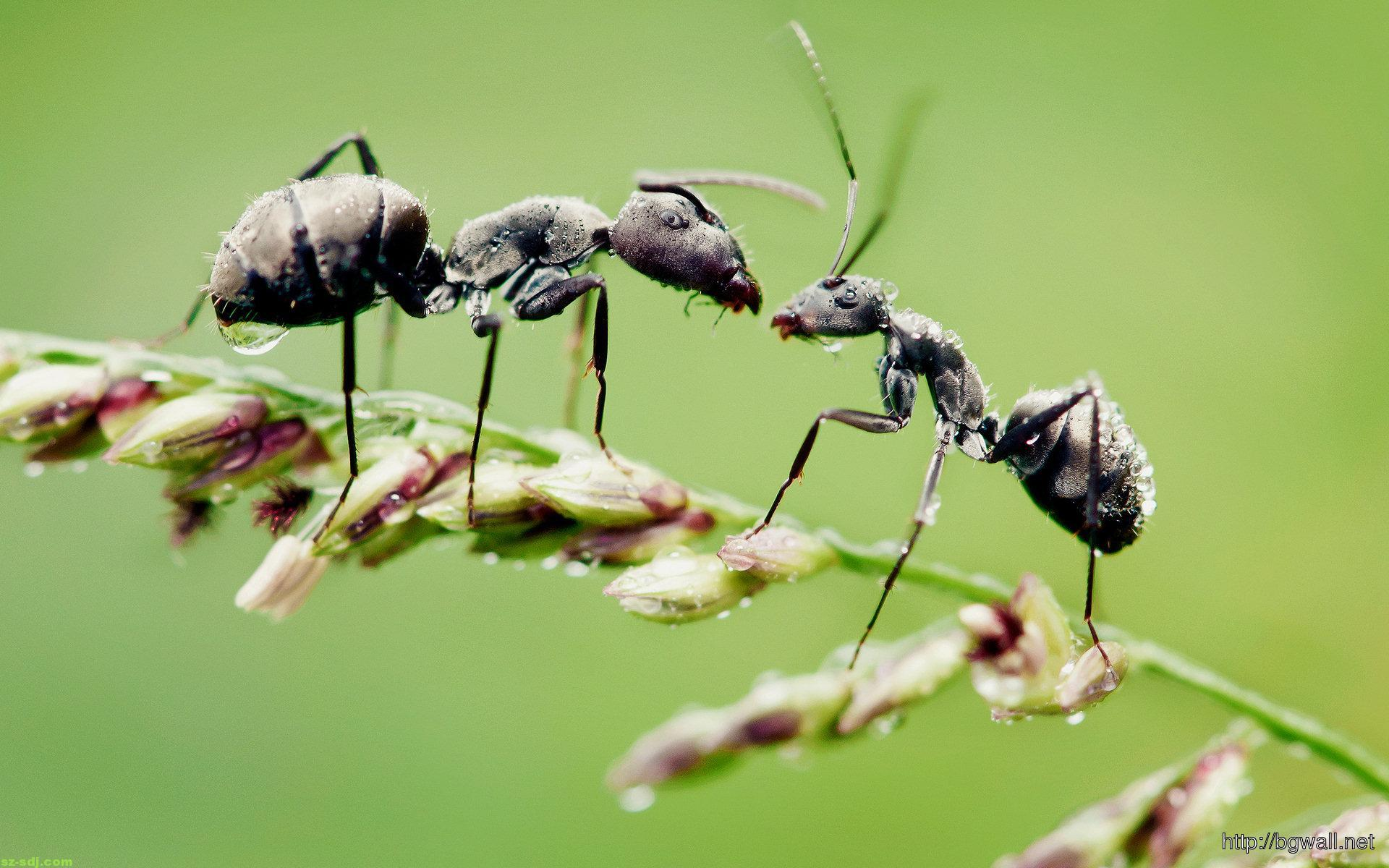 Black Ant Macro Wallpaper Widescreen