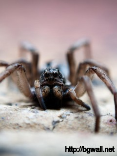 black-wolf-macro-spider-wallpaper-free