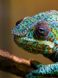 blue-chameleon-wallpaper-1080