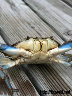 blue-crab-wallpaper-hd-desktop
