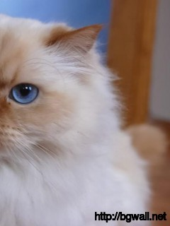 blue-eye-himalayan-cat-wallpaper